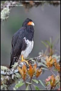 Mountain Caracara (Phalcoboenus megalopterus)