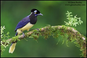 Plush-crested Jay (Cyanocorax chrysops)