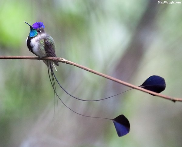 Marvelous Spatuletail Max Waugh