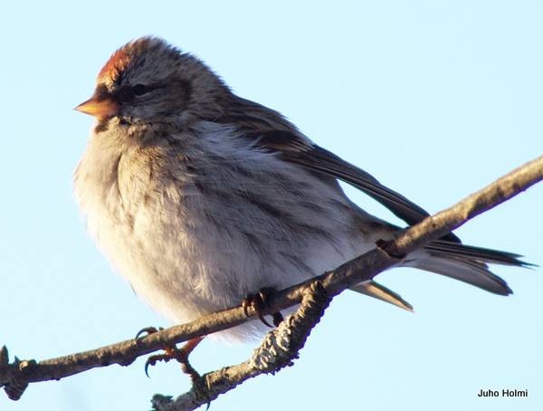 Arctic redpoll Carduelis hornemanni Hoary Redpoll in North America