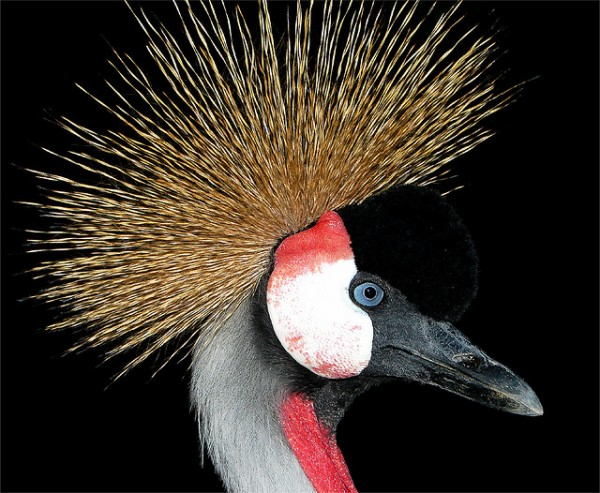 Crowned Crane by MUzina Shanghai (FLickr)