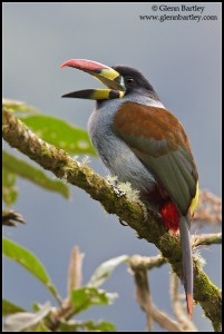 Gray-breasted Mountain-Toucan (Andigena hypoglauca)