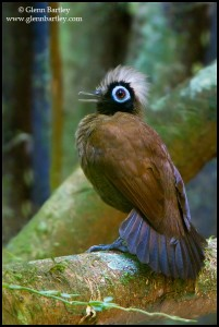 Hairy-crested Antbird (Rhegmatorhina melanosticta)