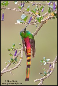 Red-tailed Comet (Sappho sparganura)
