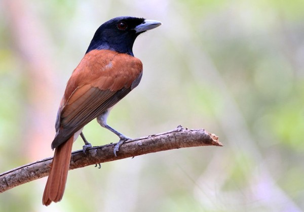 Rufous Vanga. Endemic to Madagascar. Paul French
