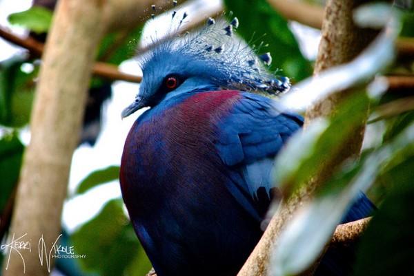 Victoria Crowned Pigeon - Kerri Polizzi (FLickr)
