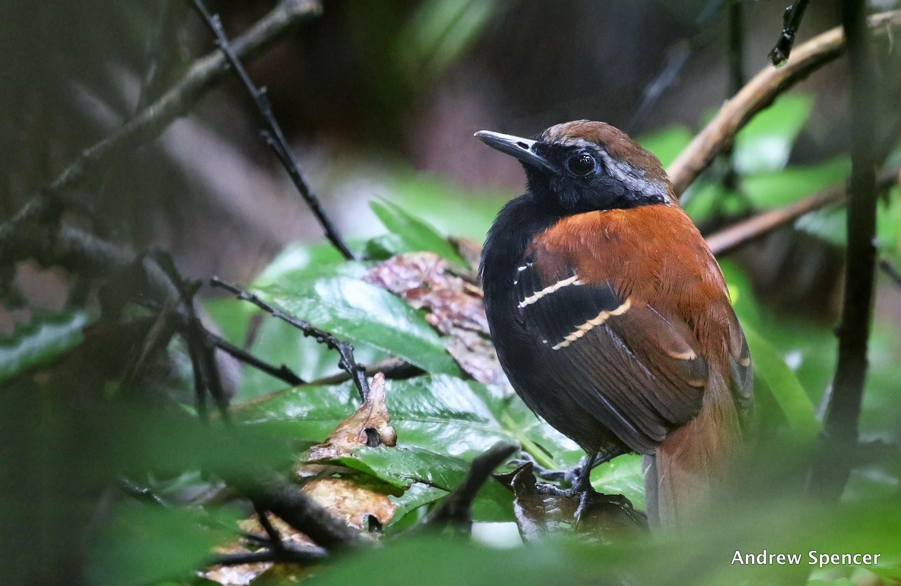 New Antbird from Plataforma, Peru. Photo: Andrew Spencer